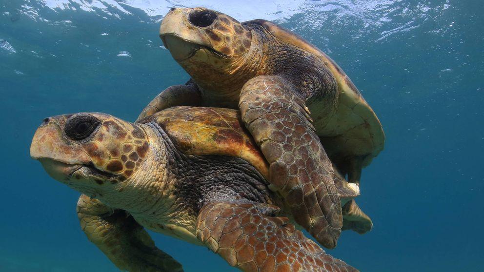 Milagro ecológico: las tortugas vuelven al mar tras décadas de conservación