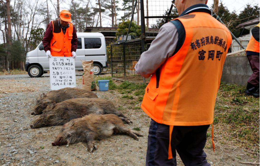 Foto: Cazadores municipales de la localidad de Tomioka identifican tres jabalíes abatidos cerca de la zona de evacuación de Fukushima, en marzo de 2017. (Reuters)