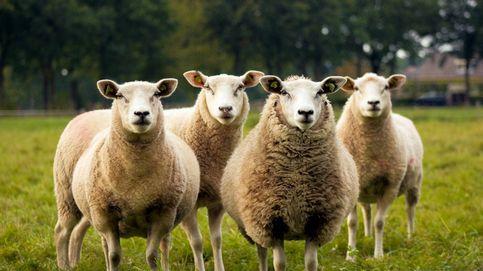 El pastoreo de un grupo de ovejas revela más de 420 tumbas de hace casi 200 años en Cork