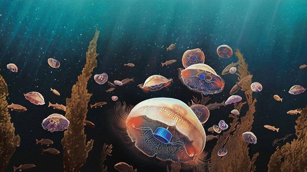Foto: Un dispositivo controla la velocidad de las medusas al nadar. Foto: Caltech / Rebecca Konte