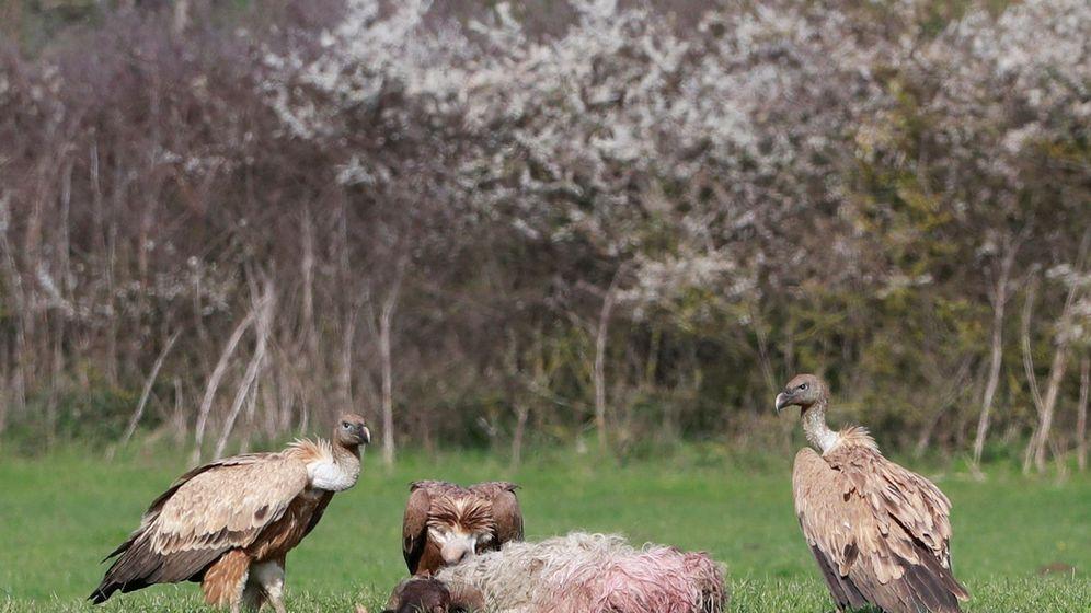 Foto: Los furtivos envenenan a los buitres para que no den pistas sobre su paradero