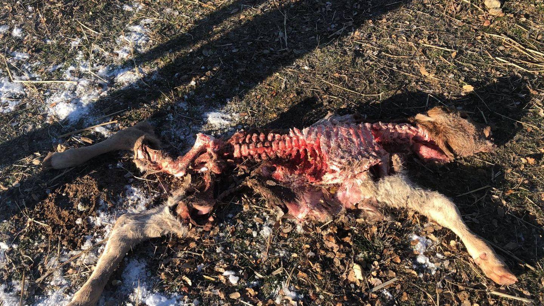 Un ternero devorado por el lobo en una ganadería familiar de Zamora
