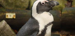 Post de Una pareja de pingüinos gays roba un huevo para incubarlo ellos mismos
