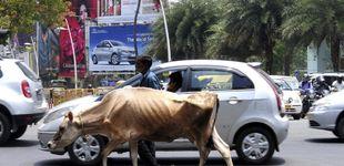 Post de La 'vaca sagrada' del gobierno indio se vuelve contra él
