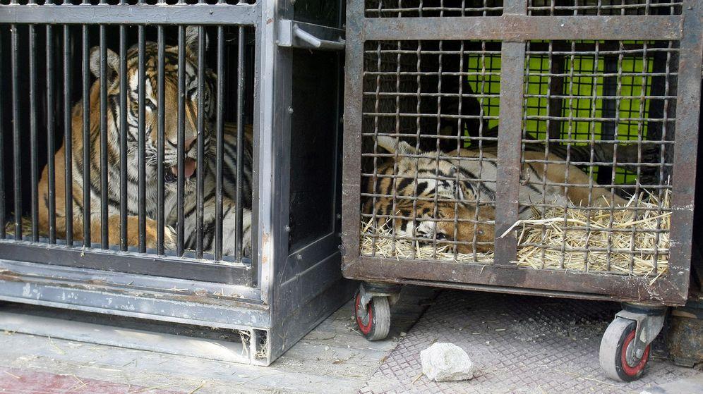 Foto: Tigres y leones no volverán a verse en los circos de Asturias y Extremadura (EFE/Morell)