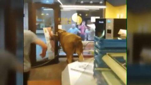 Se cuela una vaquilla en una panadería de Hernani durante los encierros de San Juan