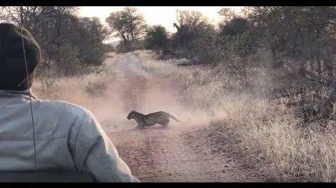 Un leopardo interrumpe a dos gacelas en plena lucha