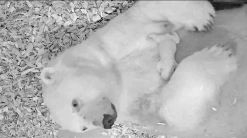 Nace una cría de oso polar en Berlín aunque sus posibilidades de sobrevivir son escasas