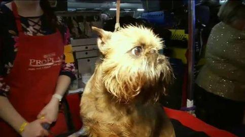 Los perros de raza también tienen su hueco en la Semana de la Moda de Nueva York