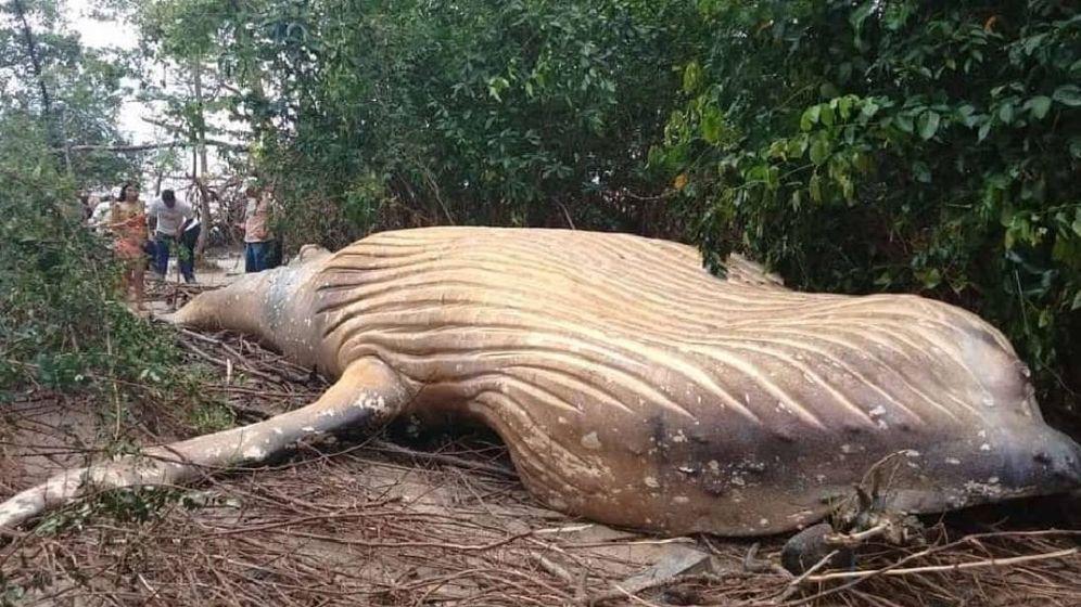 Foto: Imagen de la ballena jorobada encontrada en el Amazonas. (CC)