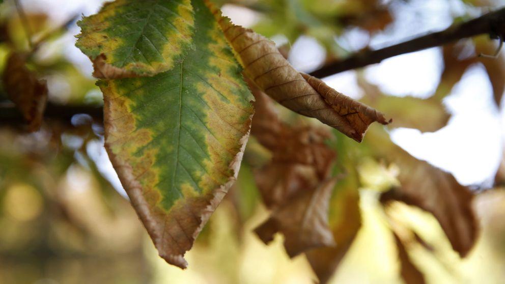 Así será el otoño del futuro: la ciencia hará que todas las hojas se caigan a la vez