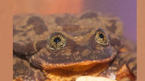 Romeo, la rana más solitaria del mundo, halla a su Julieta (y salva a toda su especie)