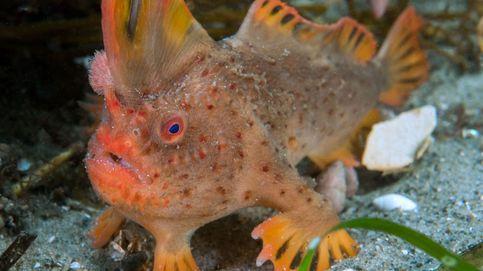 Estos son los últimos ejemplares de pez-mano rojo que quedan en el planeta