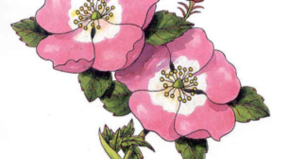 Recupere la hidratación de su piel con el aceite de la Rosa Mosqueta