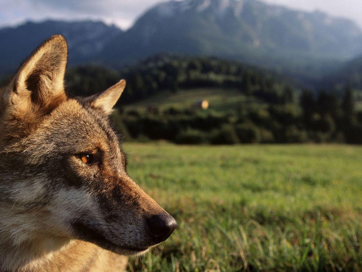 Foto: La gestión del lobo sigue ocasionando una fuerte polémica en España. (EFE)