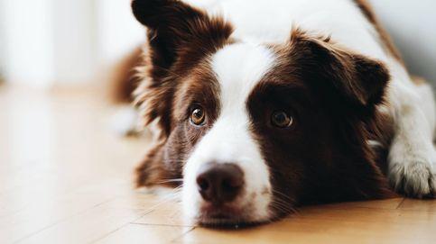 Los perros escuchan, pero no entienden lo que les estás diciendo