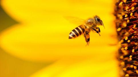 La crisis de las abejas empeora. ¿Tendremos para comer mañana?