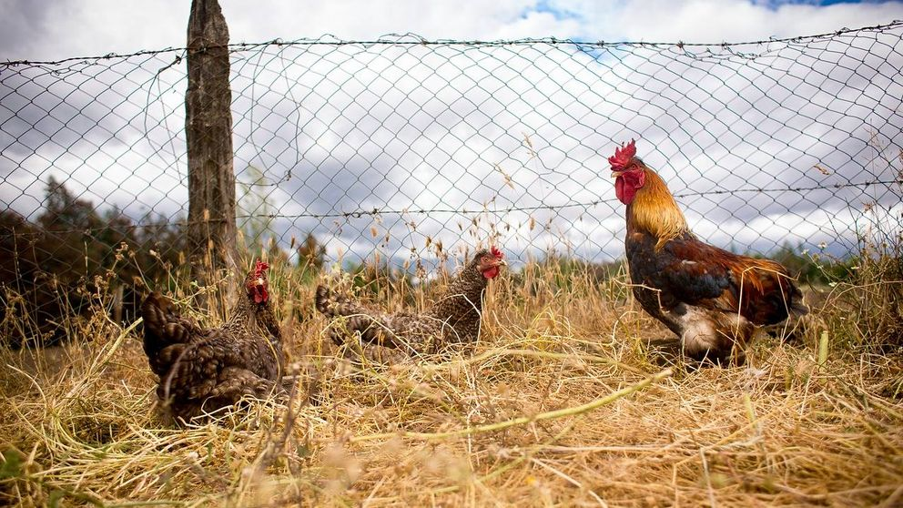 ¿Cómo puede el estiércol de gallina crear un devastador incendio como el de Tarragona?