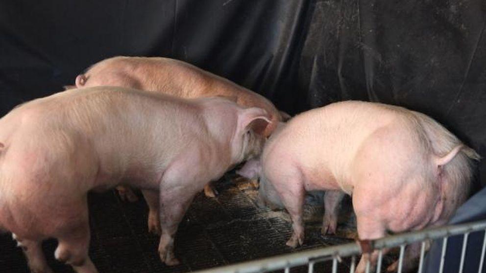 Cerdos musculosos y vacas sin cuernos: los animales transgénicos ya existen
