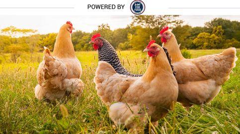 Por qué es bueno para ti que los pollos coman maíz y corran en libertad