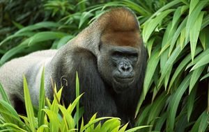 ¿Cuántos gorilas quedan en Congo? El 'Big Data' se pone al servicio de la biodiversidad