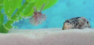 Post de Científicos españoles consiguen criar pulpo de piscifactoría tras 60 años de ensayos