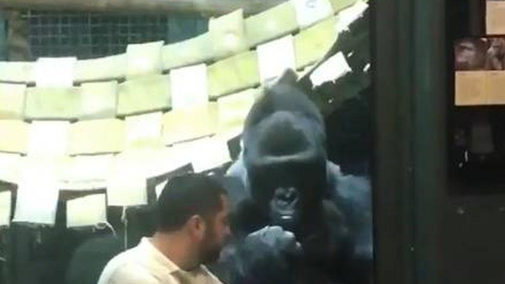 Así reaccionó un gorila cuando le enseñaron fotos de hembras de su especie