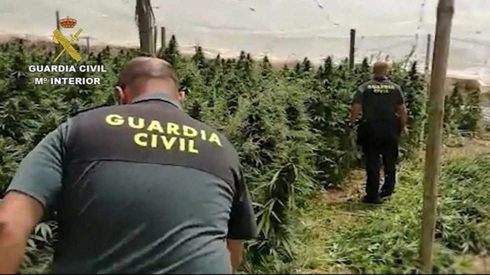 Dimite un concejal de Granada por cultivar 355 plantas de marihuana