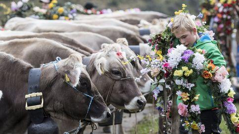 Vacas de gala y posados con camellos: el día en fotos