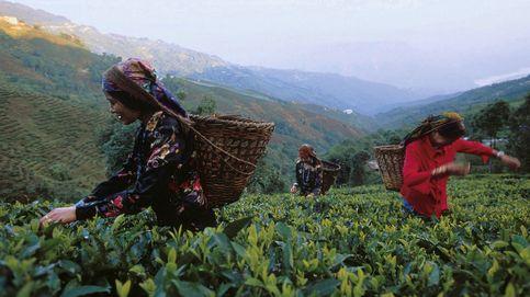 Darjeeling, en los jardines del té
