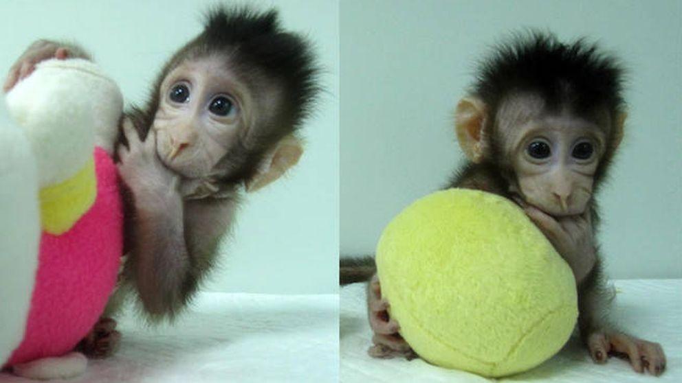 Científicos chinos crean los primeros monos clonados igual que la oveja 'Dolly'