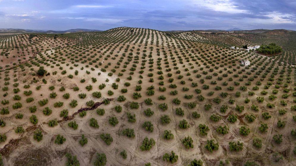 Foto: Extensiones de olivar en la provincia de Jaén. (EFE)