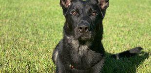 Post de Perro policía muere en acto de servicio después de salvar la vida a su compañero