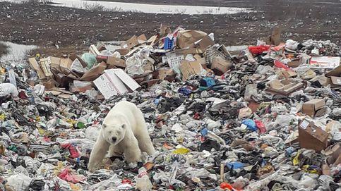 La impactante foto de una osa polar: busca comida en Siberia a 1.500 km de su hábitat