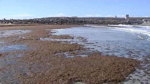 Miles de algas asiáticas invaden la costa de Tarifa (Cádiz)
