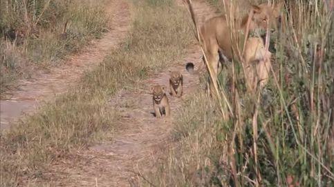 Así son los 'nietos' de Cecil: los cachorros no conocerán a su 'abuelo', el león más bello de Zimbabue