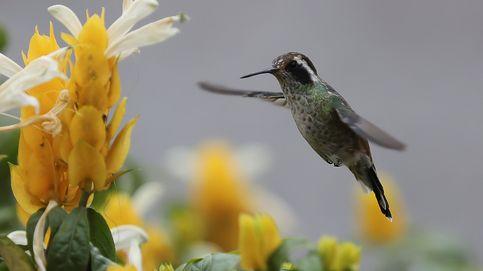 Un colibrí se alimenta de una flor