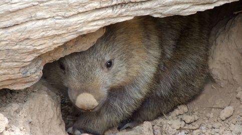 Un wombat rompe el silencio: Sí, mi caca tiene forma de cubo