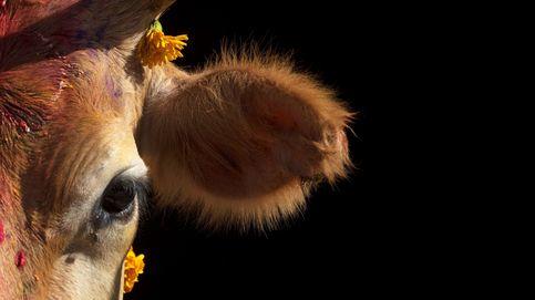 La Clipper Race llega a Sudáfrica y Día de Veneración de la Vaca: el día en fotos