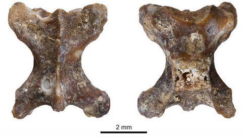 El lagarto sin patas que vivió en Murcia hace un millón de años