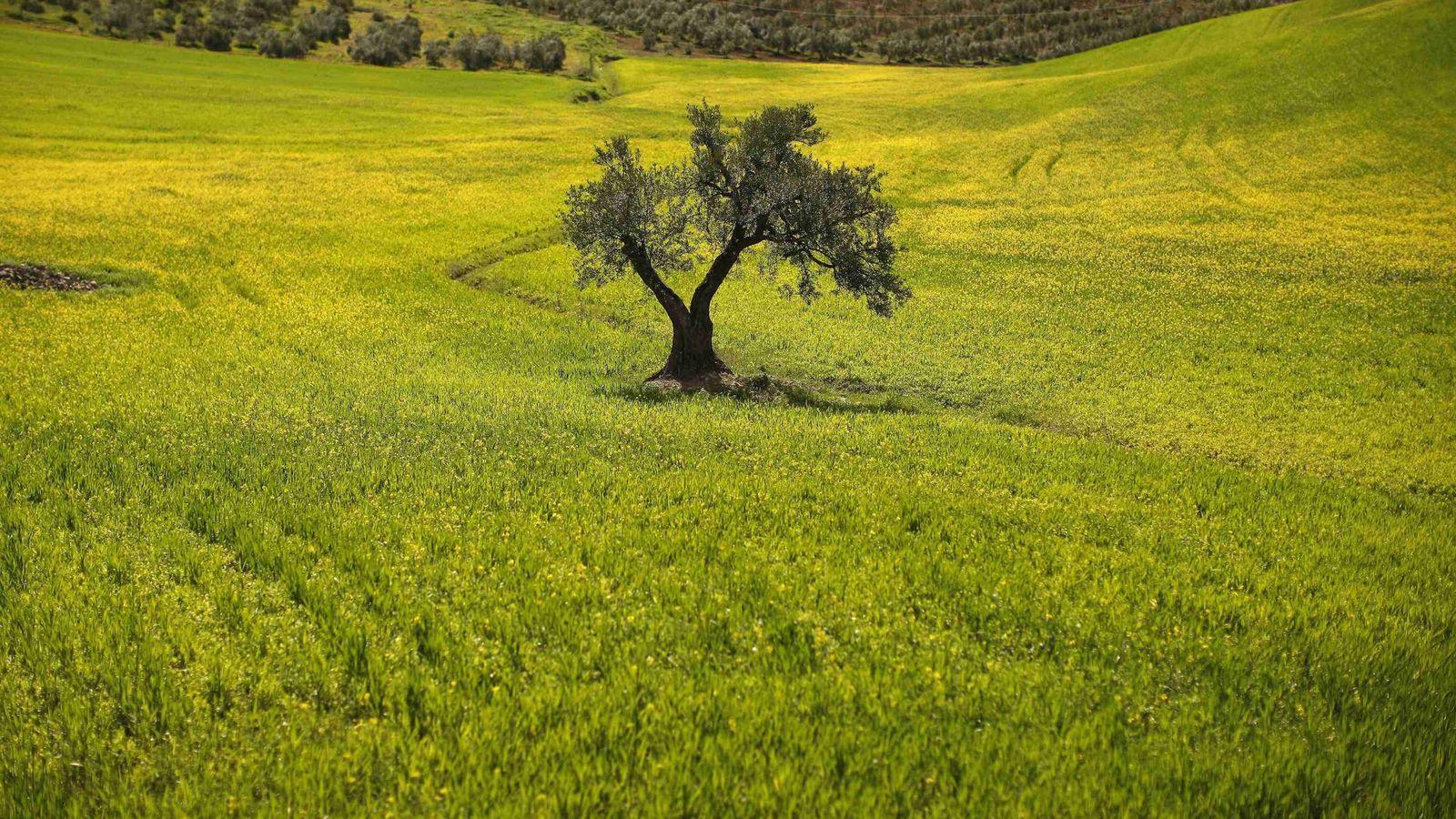 Foto: Campo de olivos en Ronda. (REUTERS)