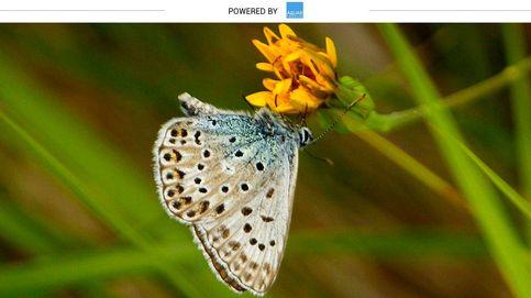La mariposa con flecos que sobrevuela las montañas