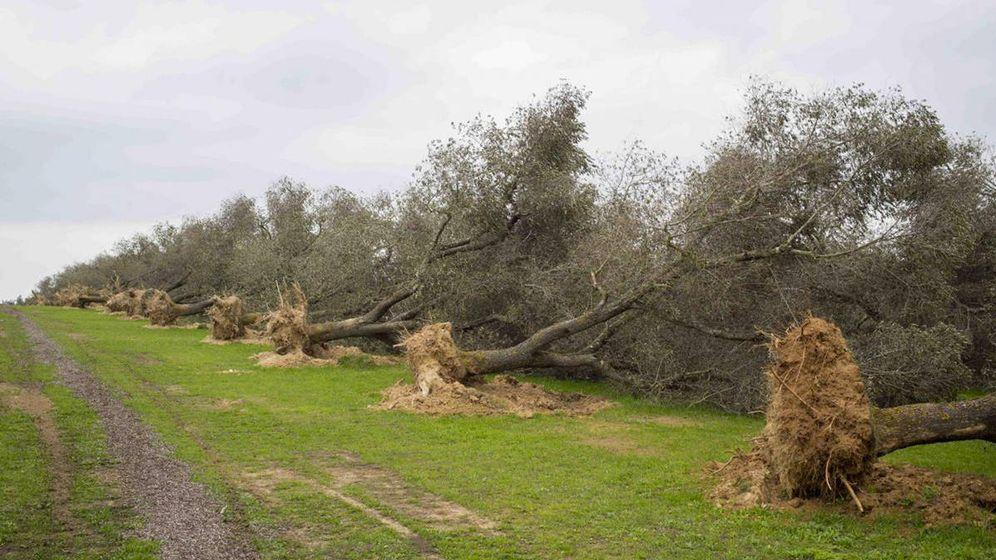 Foto: Árboles infectados por 'Xylella' (la bacteria no arranca la planta, solo la mata).