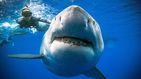 Seis años después localizan a Deep Blue, el tiburón blanco más grande del mundo