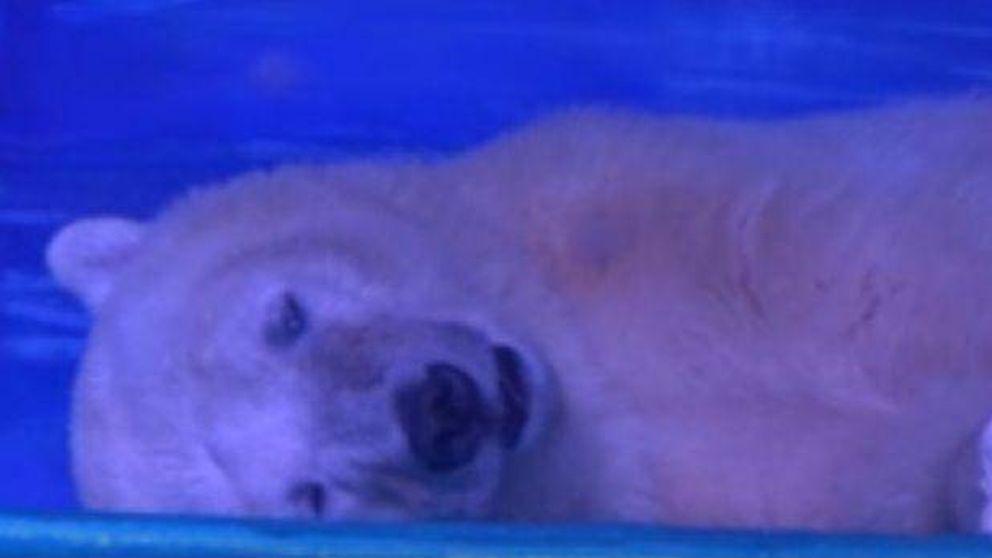 Pizza, el oso polar más triste del mundo que vive en el acuario de un centro comercial en China
