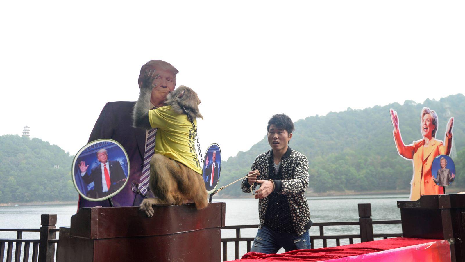 Foto: Un mono con una camiseta que reza 'Rey de las predicciones' elige la figura de Trump, en Changsha, provincia de Huna, el 3 de noviembre de 2016. (Reuters)