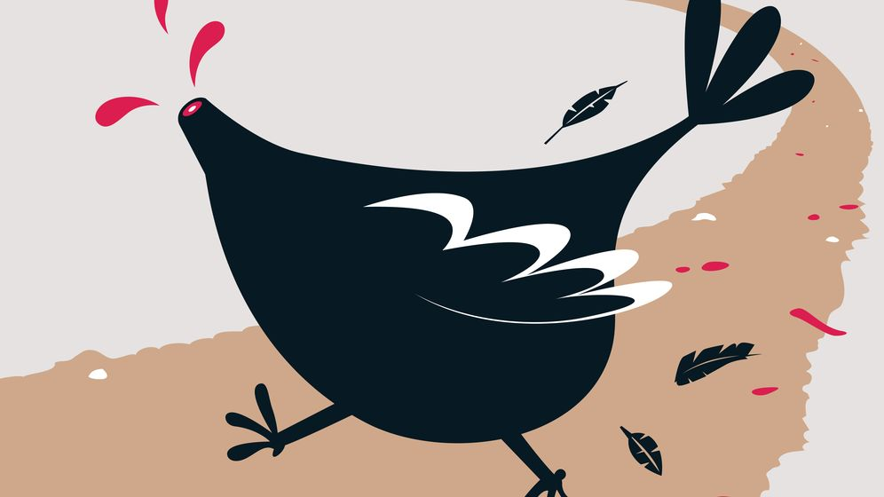 Foto: El pollo descabezado no es un animal mítico, ni una invención para ganar dinero. (iStock)