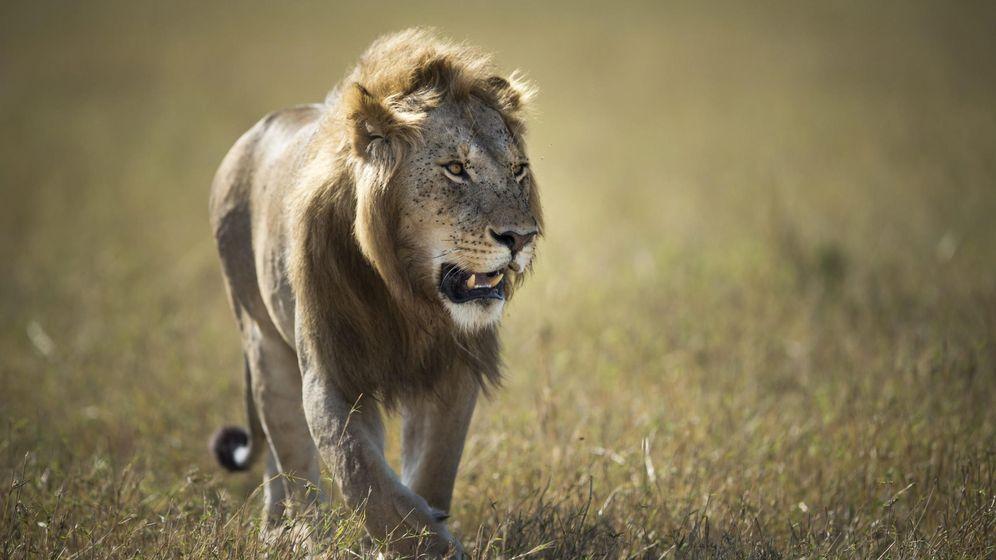 Foto: León en el Serengeti, Tanzania. (EFE)