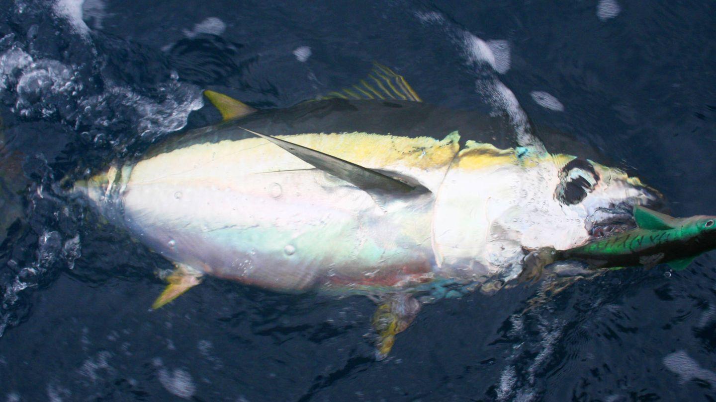 Atún de aleta amarilla, el más utilizado en conservas. (iStock)