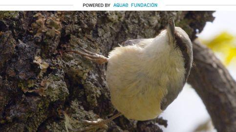 El trepador de árboles al que le chiflan los piñones y las avellanas